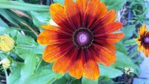 Echibeckia Flower