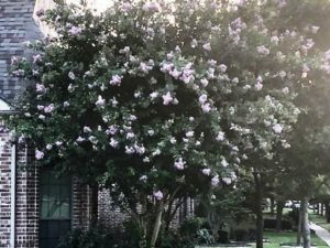 Muskogee Crape Myrtle Tree