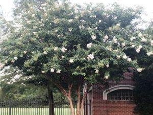 Natchez Crape Myrtle Tree