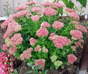 Sedum Flower, pink blooms