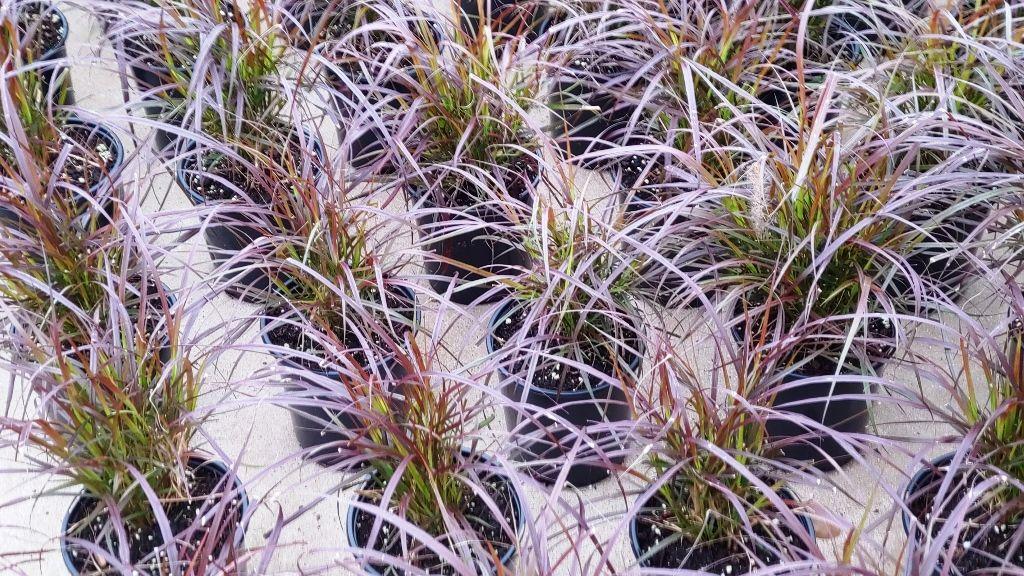 Ornamental Grasses in North Texas