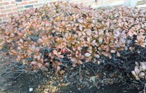 Landscaping Shrubs Damaged by Cold Temperatures