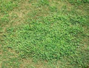 lawn weeds Crabgrass frisco prosper