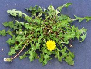 lawn weeds Dandelion frisco prosper