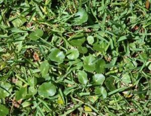 lawn weeds Dollarweed frisco prosper