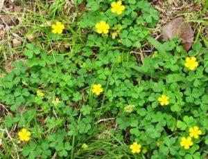 lawn weeds Oxalis frisco prosper
